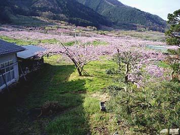 松前山荘からの眺め、桃の花が真っ盛りでした